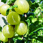 qua-ly-gai-gooseberries