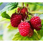 qua-mam-xoi-raspberries